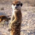 Пловдив купува сурикати и камила за зоопарка